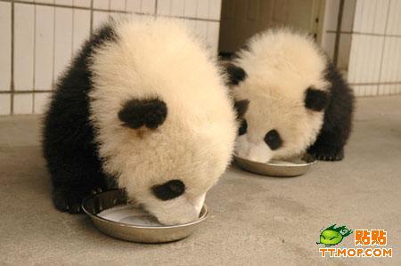 超级可爱的滚来滚去的大熊猫们(一)
