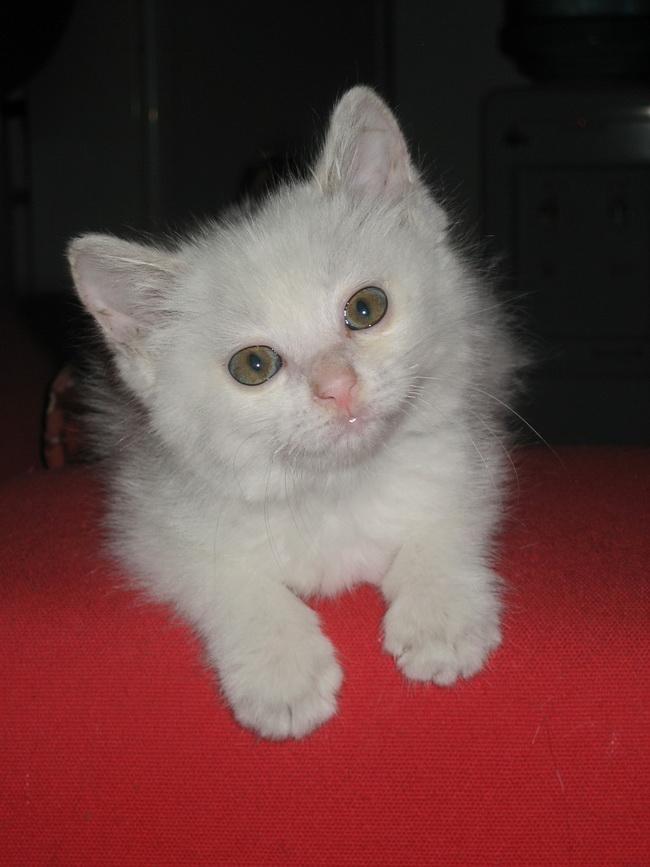 有一只小白猫等待领养