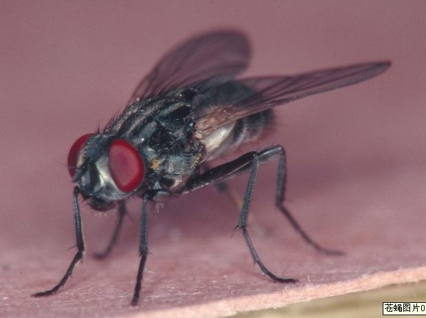 自从地球出现了苍蝇这种卵生动物,它对于*的喜好就从来没有发生过改变