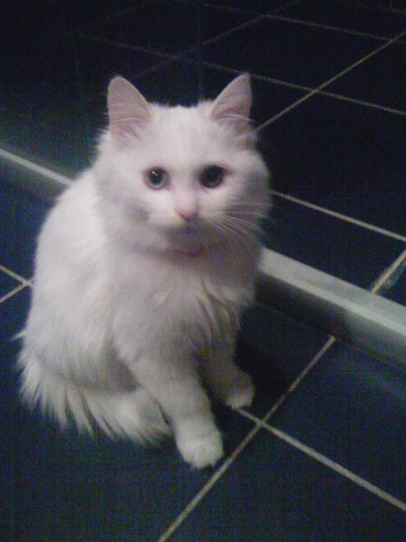很可爱的小白猫是否有人要领养