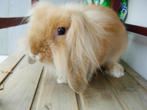 求助我家的荷兰长耳兔怎么不吃东西呢谁知道啊