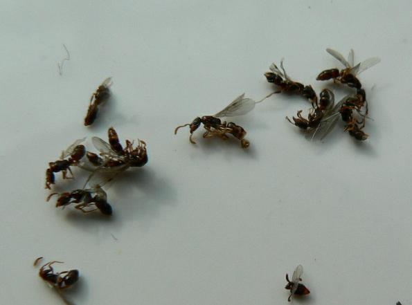 这两天卧室突然出现很多带翅膀的蚂蚁,从墙边的踢脚线