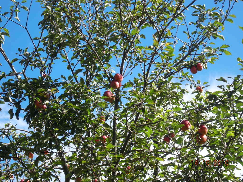 院子里有一棵苹果树,结了很多果子