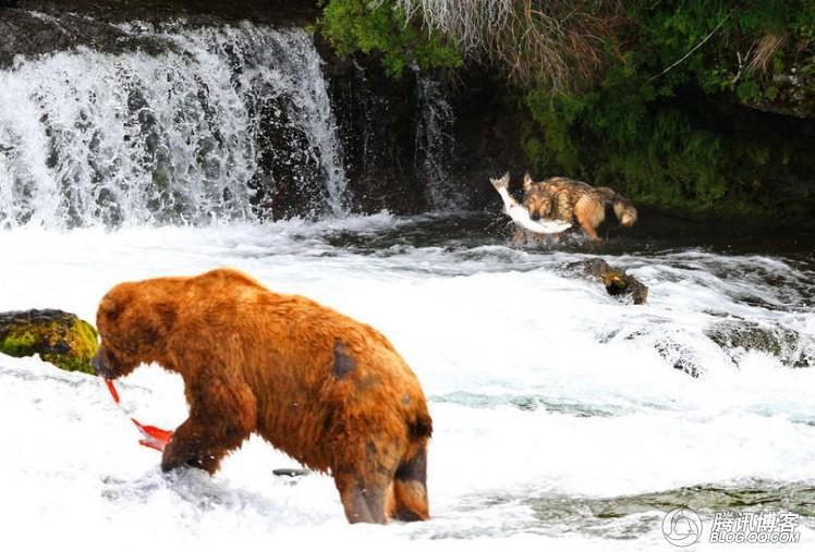 惊人的进化:狼模仿熊抓鱼了