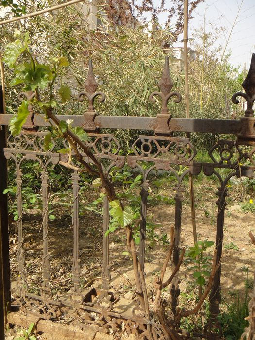 阿门阿前一棵葡萄树,阿嫩阿嫩绿的刚发芽
