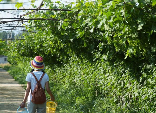 每年,从眼前这些水灵灵的樱桃开始,陆续会有庞各庄的西瓜,崔村的苹果