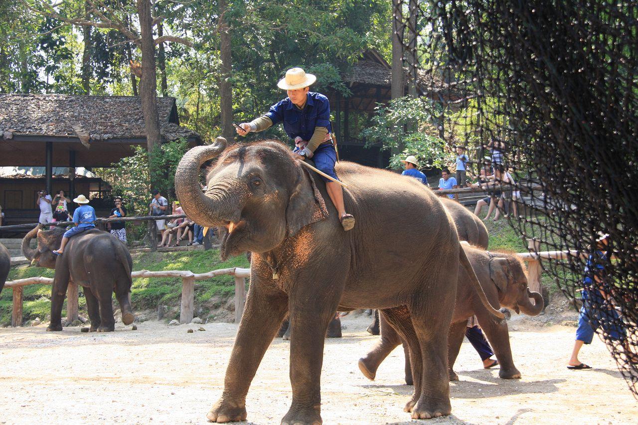 大象训练营——世界上最聪明的大象