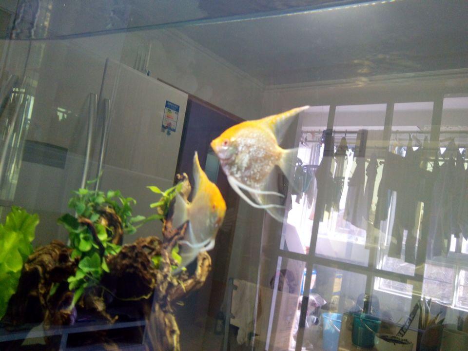 燕鱼怎么分公母一对鱼的图片-红眼钻石燕鱼 一对图片