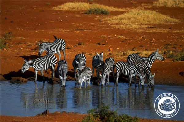 斑马喝水.jpg
