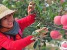 金秋时节,昌平苹果节即将开幕!回龙观人准备迎接与苹果的美丽碰撞吧~