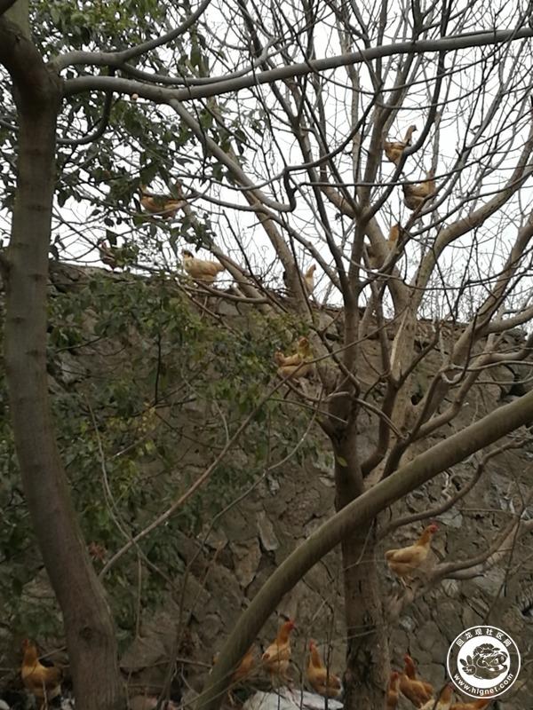 虽是冬天,草木枯黄,这鸡只要天一亮,就到处野!-黄家老爸散养的