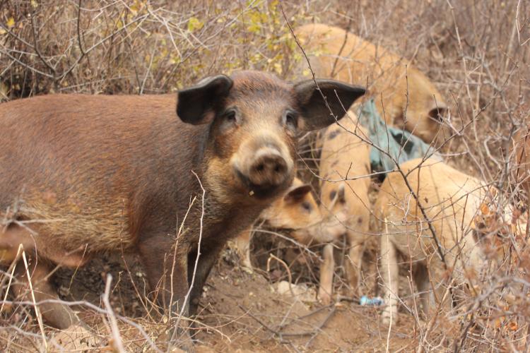 安逸的小猪 在山里自由的活动