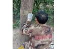 昌平一小区树木被剥皮追踪:救回3棵树,破坏者已找到